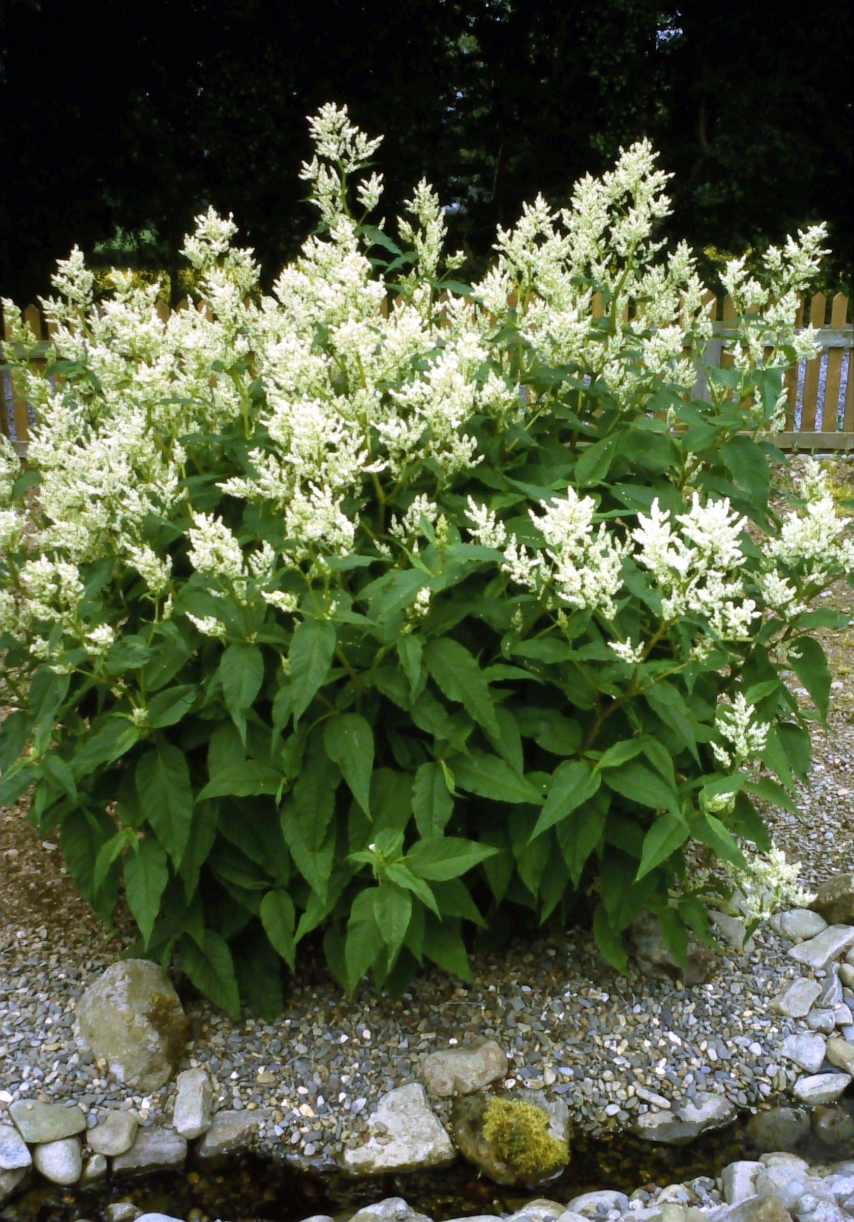 Penlan Perennials Nursery: Persicaria Alpina (syn. Persicaria Polymorpha)