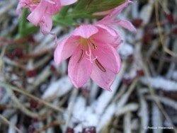 Hesperantha coccinea 'Jennifer'