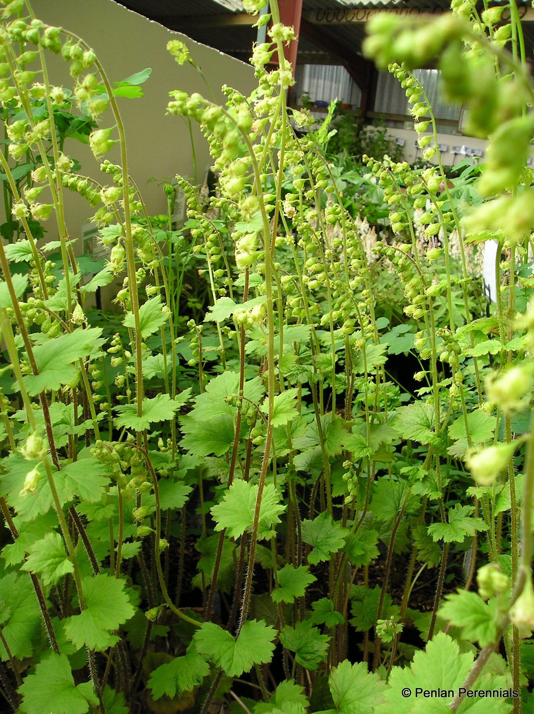Penlan Perennials Nursery: Tellima Grandiflora 'Purpurteppich'