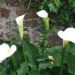 Zantedeschia aethiopica 'Crowborough'