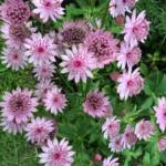 astrantia-major-rosensinfonie
