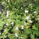 Geranium macrorrhizum 'Snow Sprite'