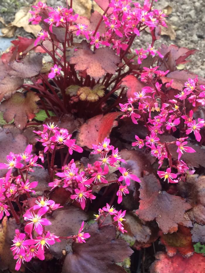 saxifraga-black-ruby