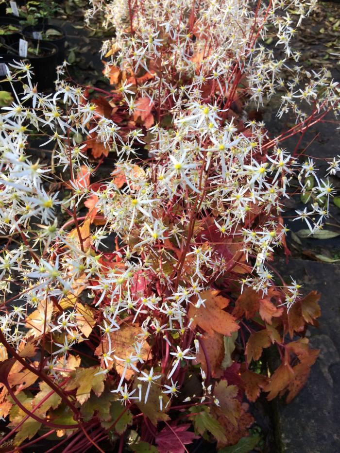 saxifraga-rubrifolia
