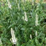veronica-longifolia-melanie-white