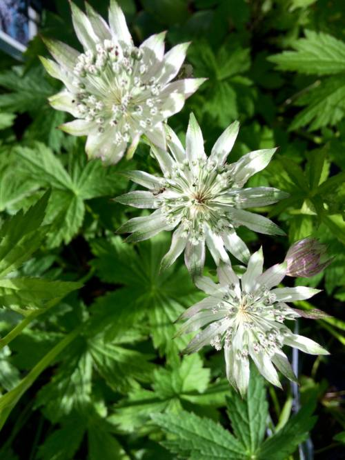 Astrantia-major-shaggy