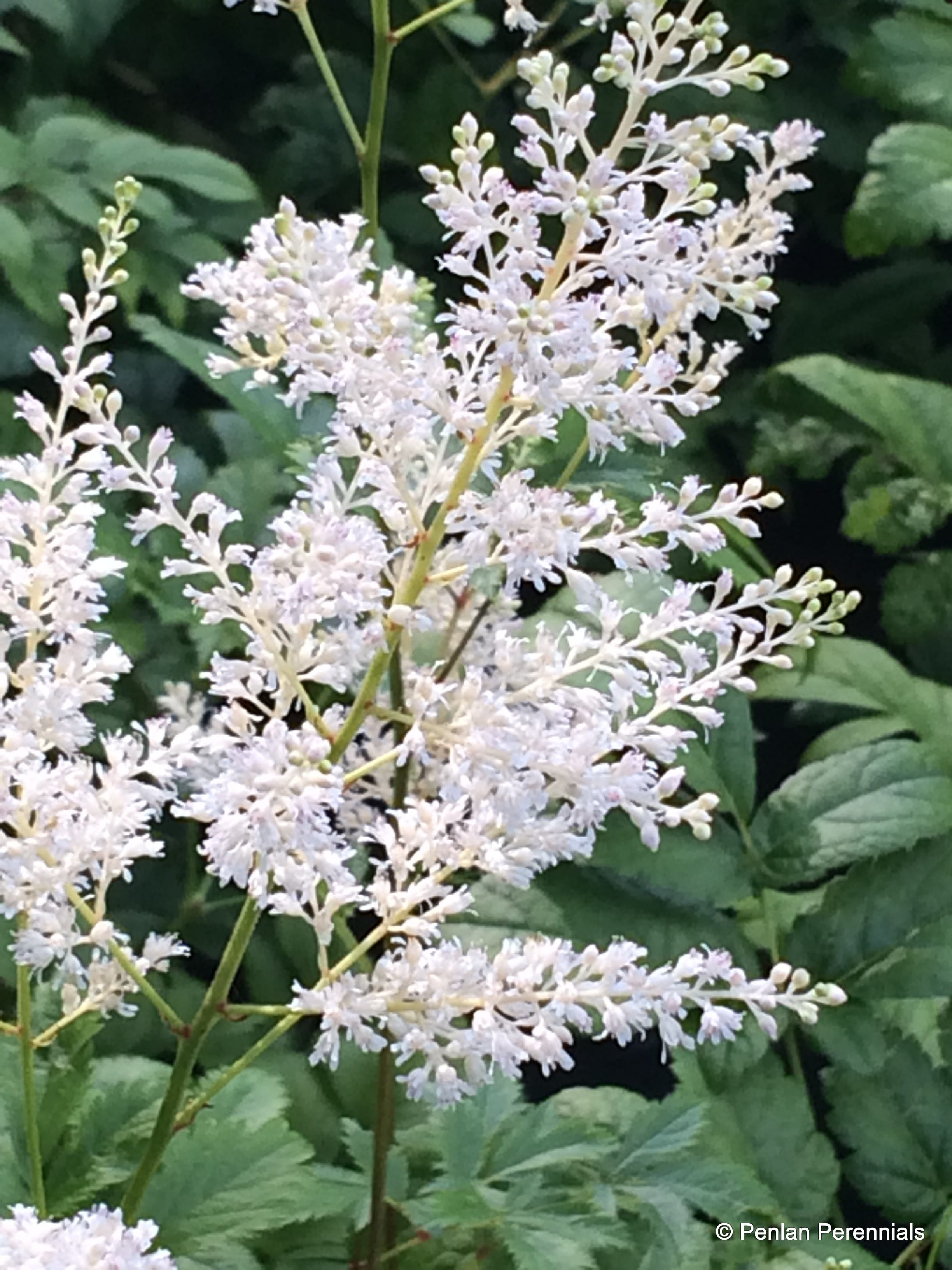 Astilbe 'Washington'