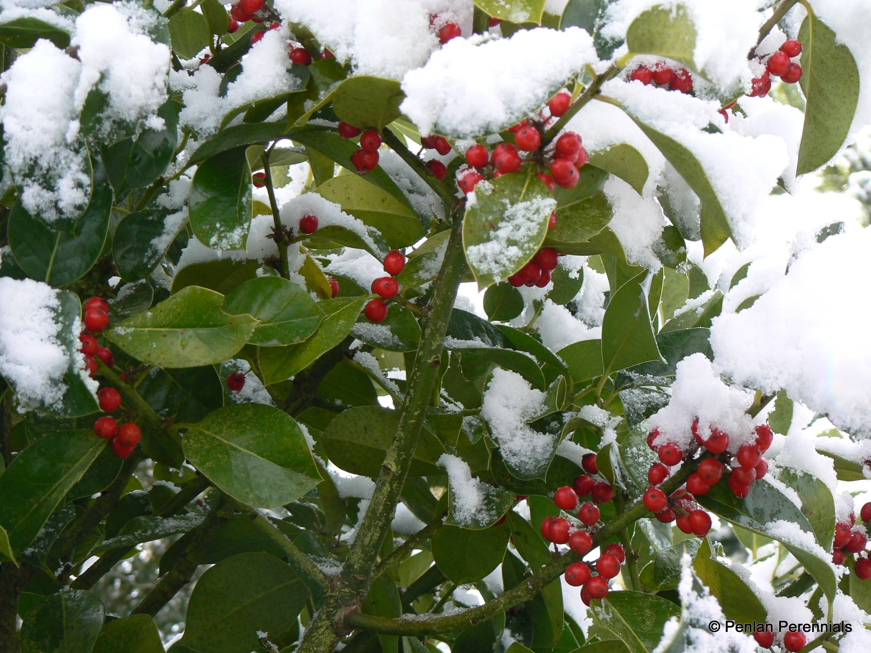Holly Berries in snow
