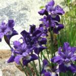 Iris 'Shirley Pope' (sibirica)
