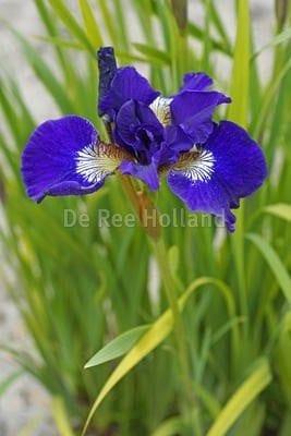 Iris sibirica 'Shirley Pope'