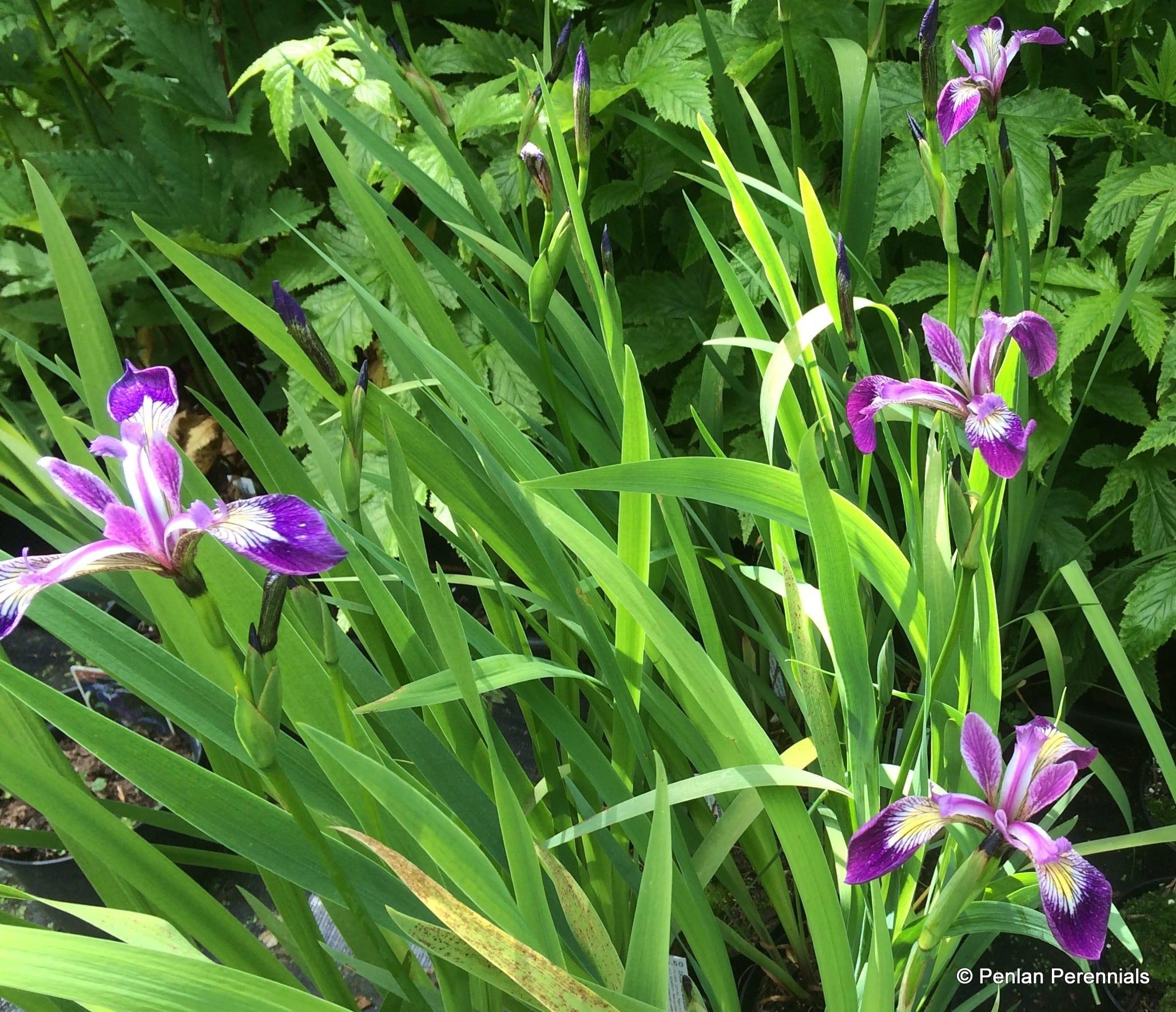 Iris versicolor 'Kermesina'