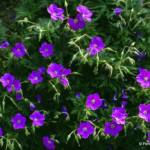 geranium-clarkei-kashmir-purple