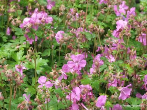 geranium-x-cantabrigiense-cambridge