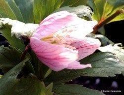 Helleborus thibetanus