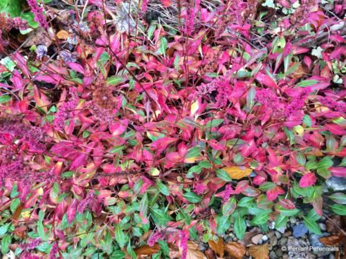 Persicaria affinis 'Darjeeling Red', autumn foliage