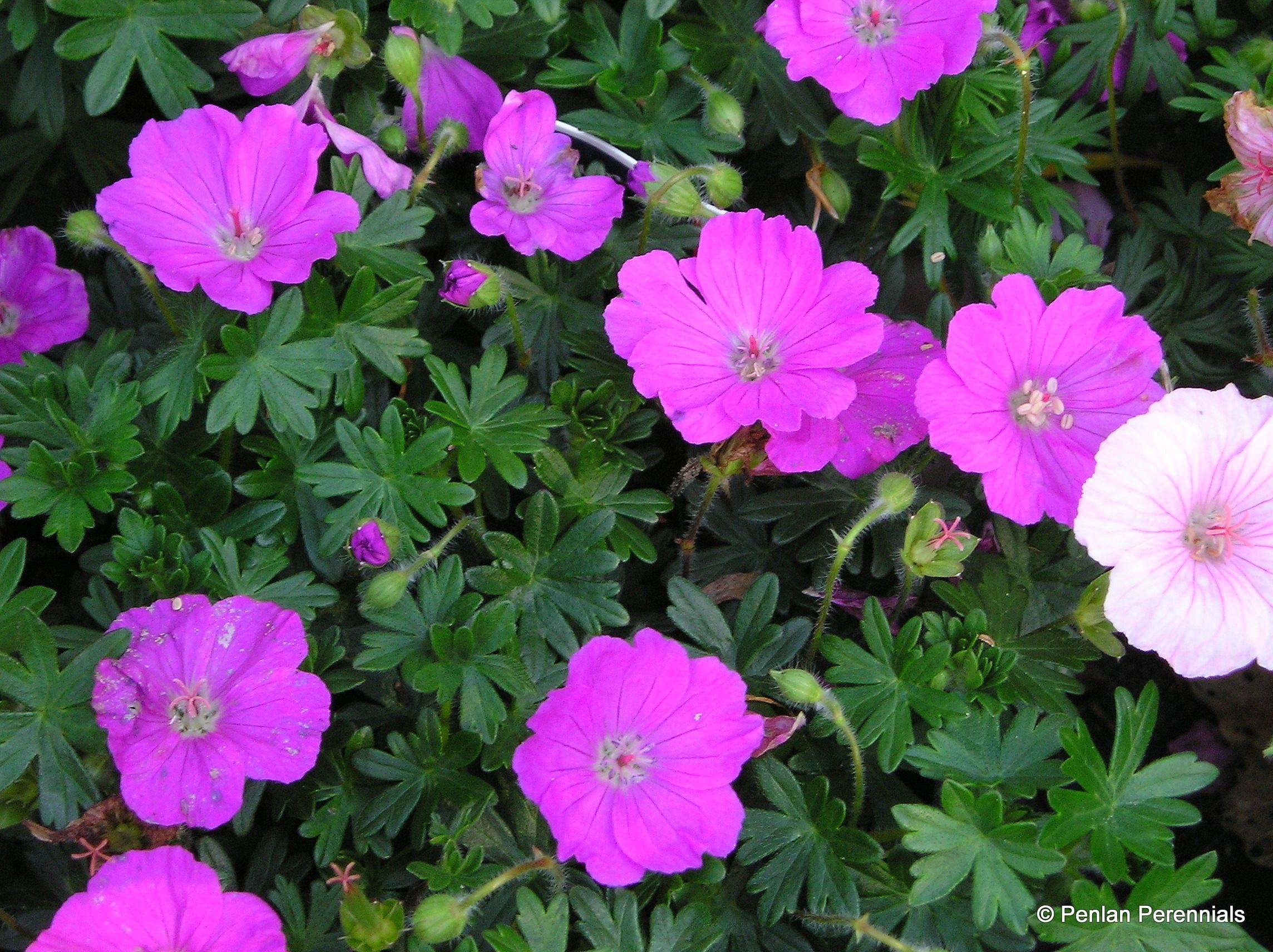geranium sanguineum max frei penlan perennials nursery