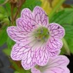 Geranium x oxonianum 'Lace Time'