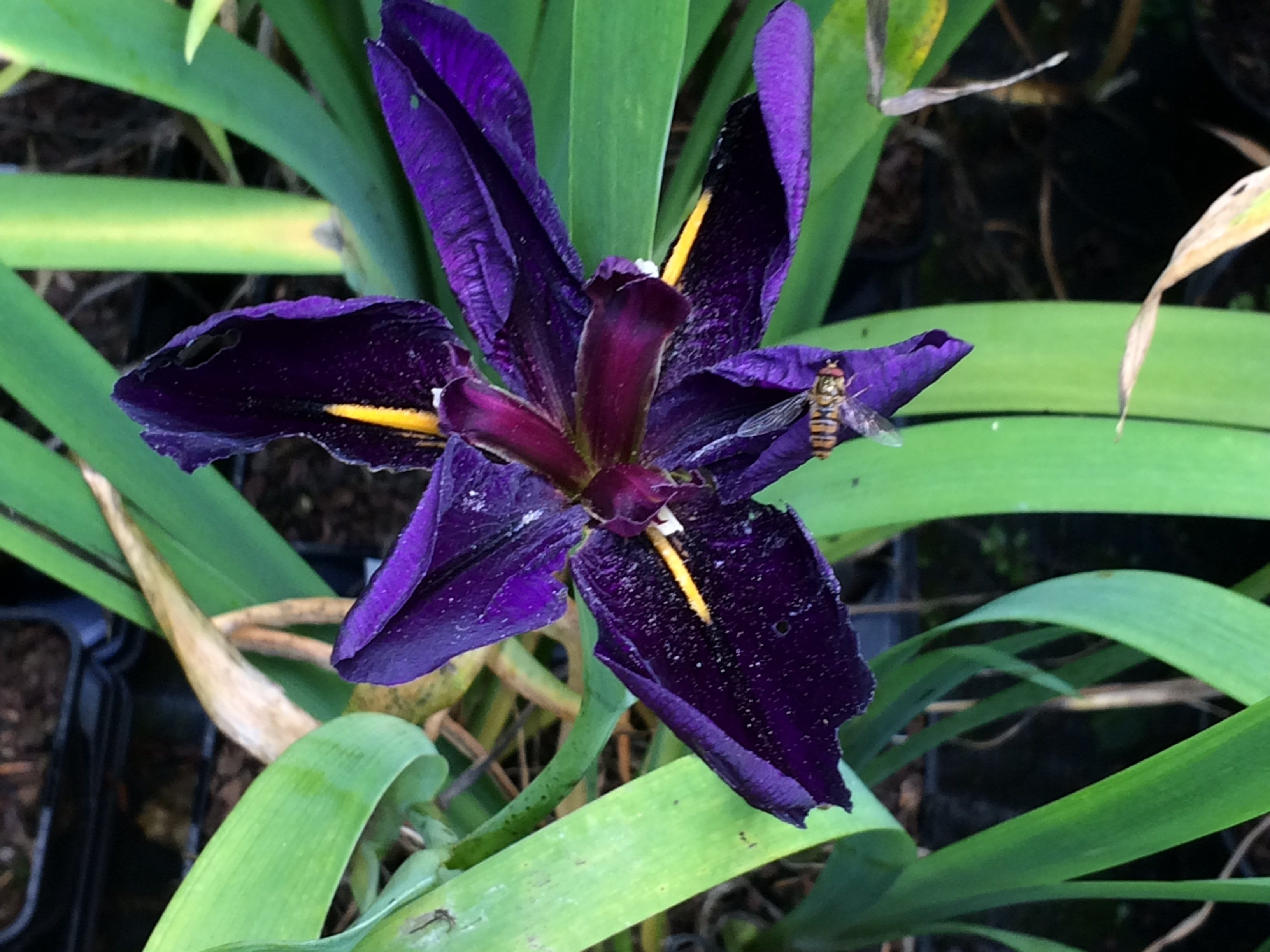 iris-louisiana-black-gamecock