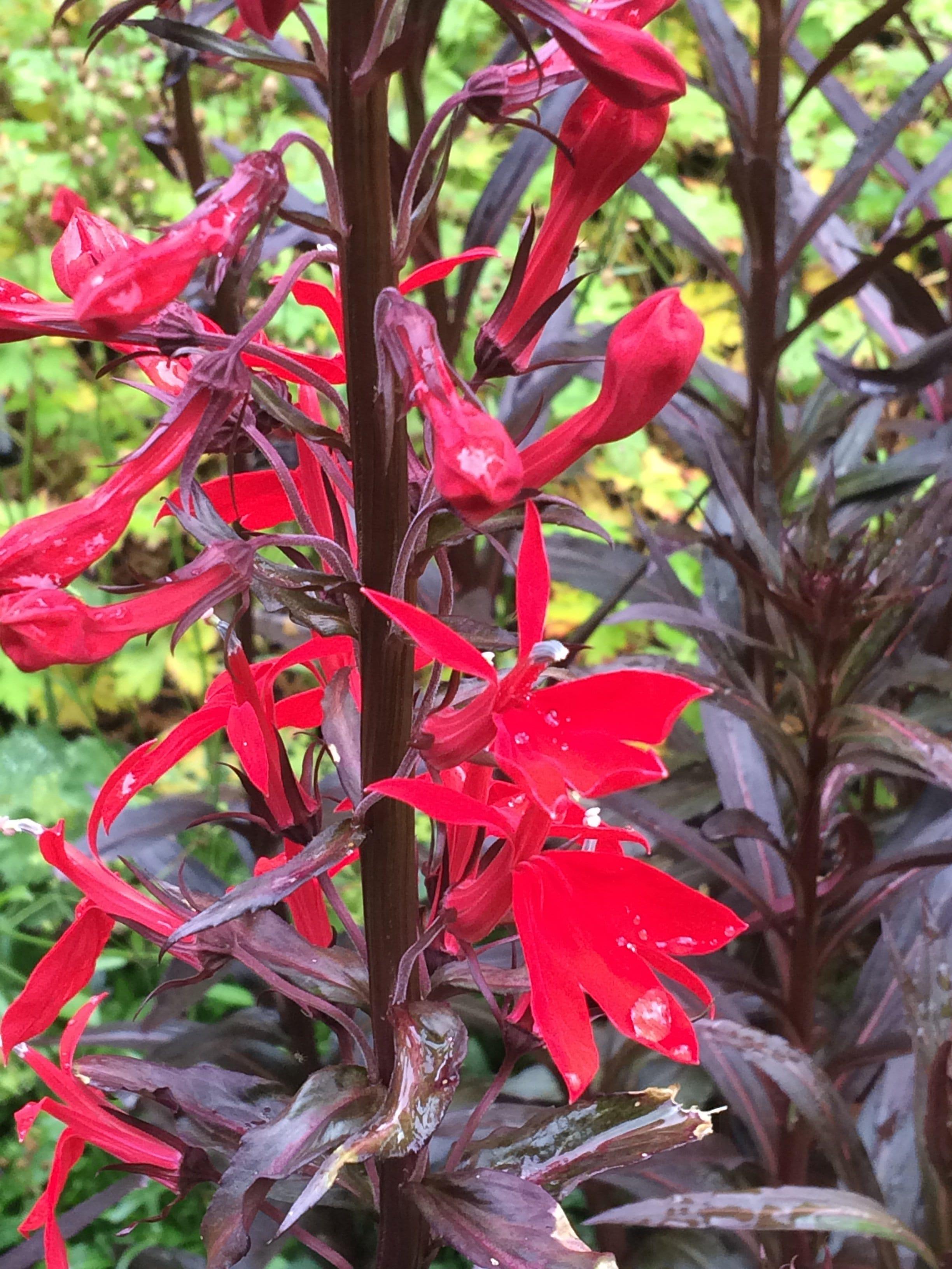 lobelia-cardinalis-queen-victoria