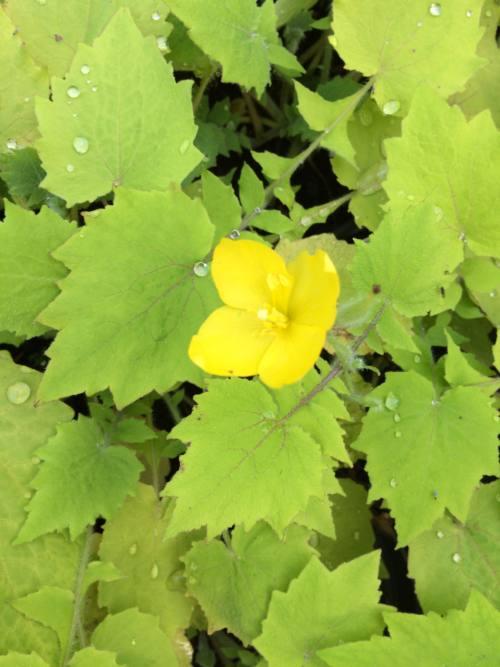 stylophorum-lasiocarpum