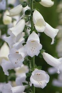 digitalis-purpurea-albiflora
