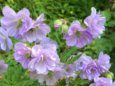 geranium-pratense-cloud-nine