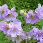geranium-pratense-cloud-nine