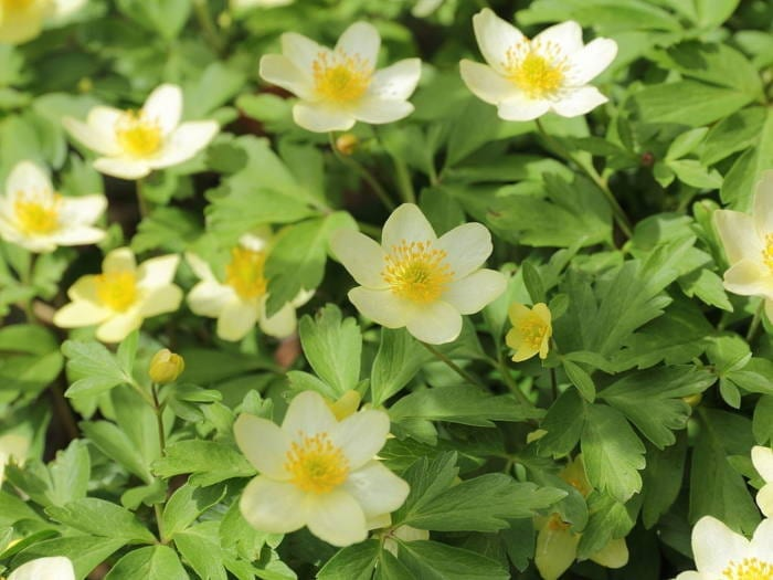 anemone-x-lipsiensis