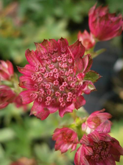 geranium sanguineum  u2018album u2019  u2013 penlan perennials nursery