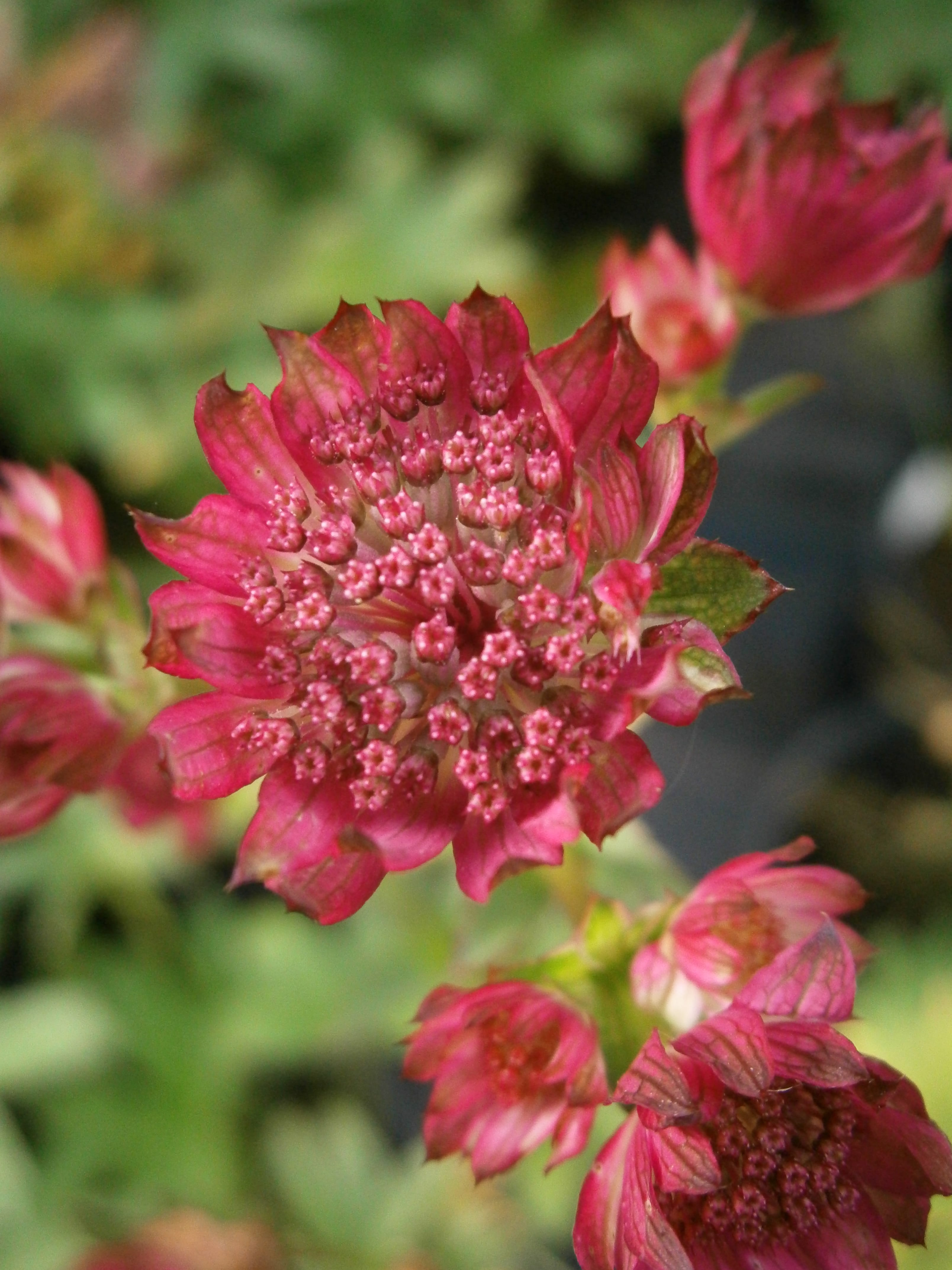 astrantia-major-venice