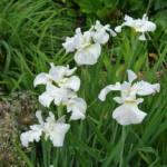 iris-sibirica-gulls-wing
