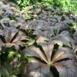 rodgersia-podophylla-braunlaub