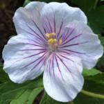 geranium-himalayense-derrick-cook