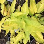 persicaria-amplexicaulis-golden-arrrow