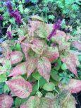 persicaria-amplexicaulis-golden-arrow