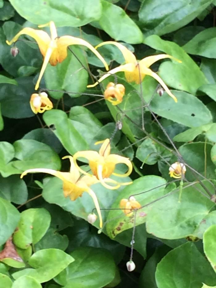 epimedium-amber-queen