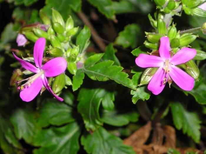 geranium-reuteri-syn-geranium-canariense