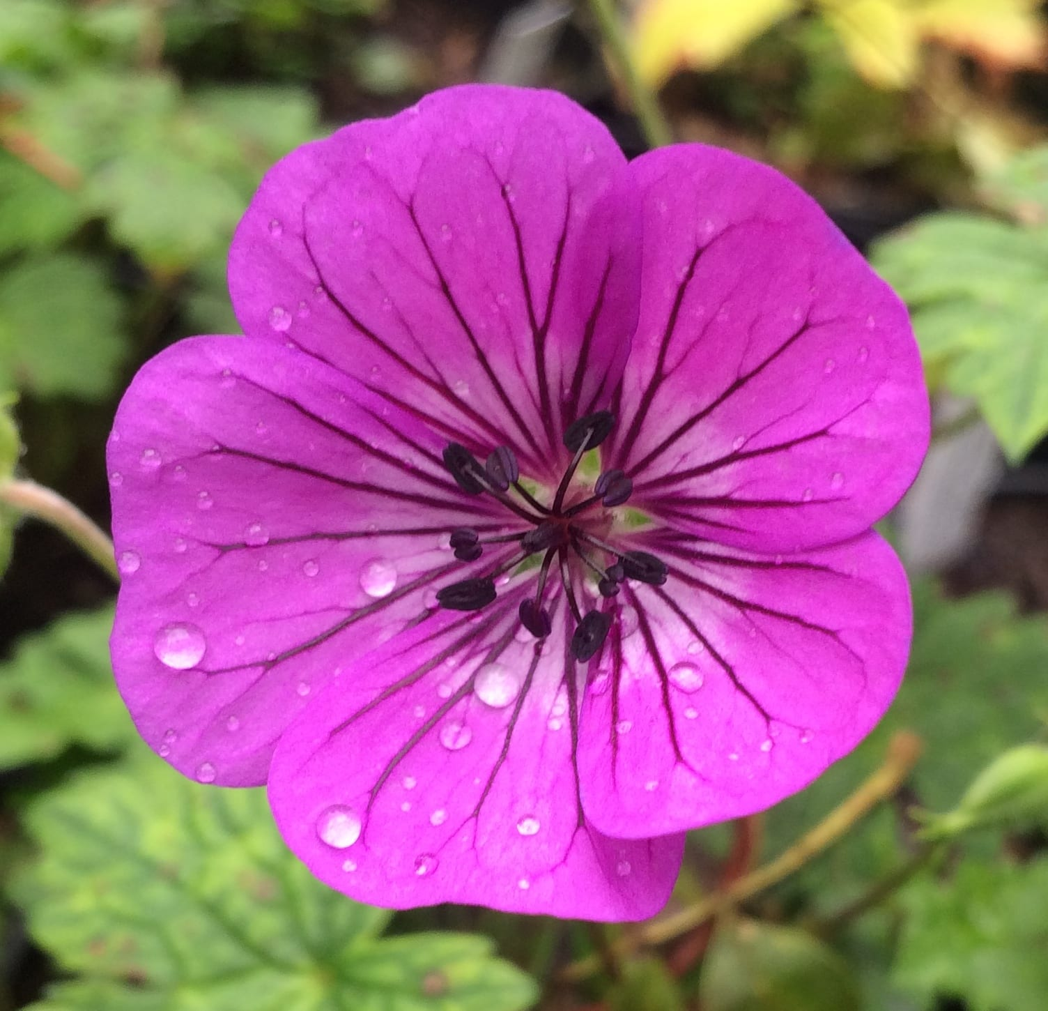 geranium-pink-penny