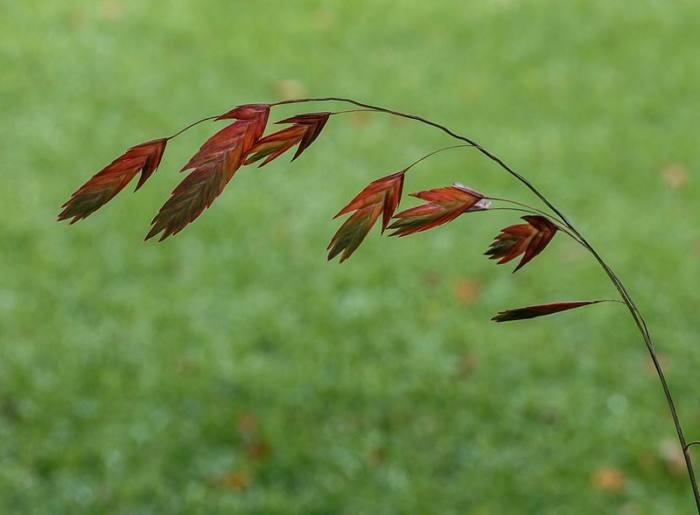 chasmanthium-latifolium