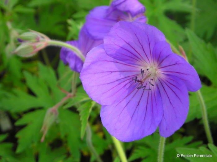 geranium-kashmir-blue