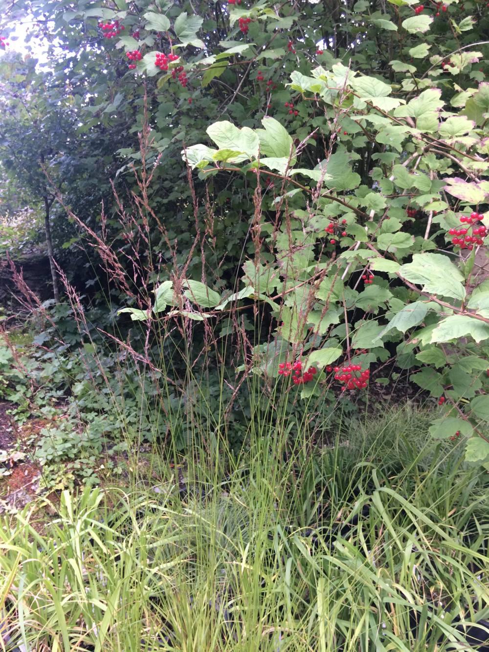 Penlan Perennials Nursery: Molinia Caerulea Subsp. Caerulea 'Edith Dudszus'