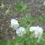 geranium-phaeum-album