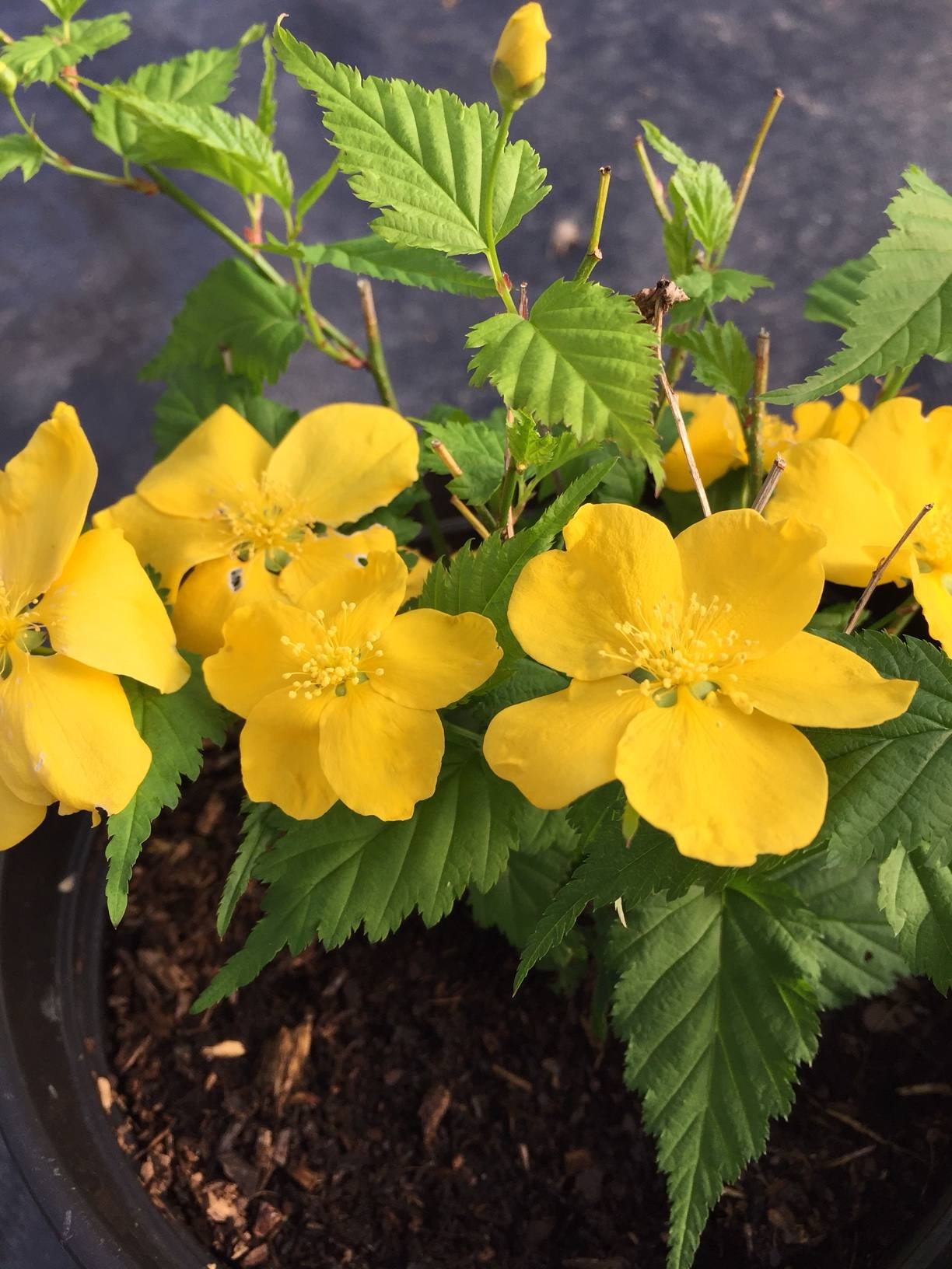 Penlan Perennials Nursery: Kerria Japonica 'Golden Guinea'