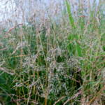deschampsia-cespitosa-golden-dew