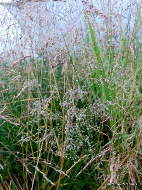 deschampsia-cespitosa-golden-dew