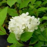 hydrangea-paniculata-limelight