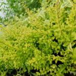 ligustrum-undulatum-lemon-lime-and-clippers