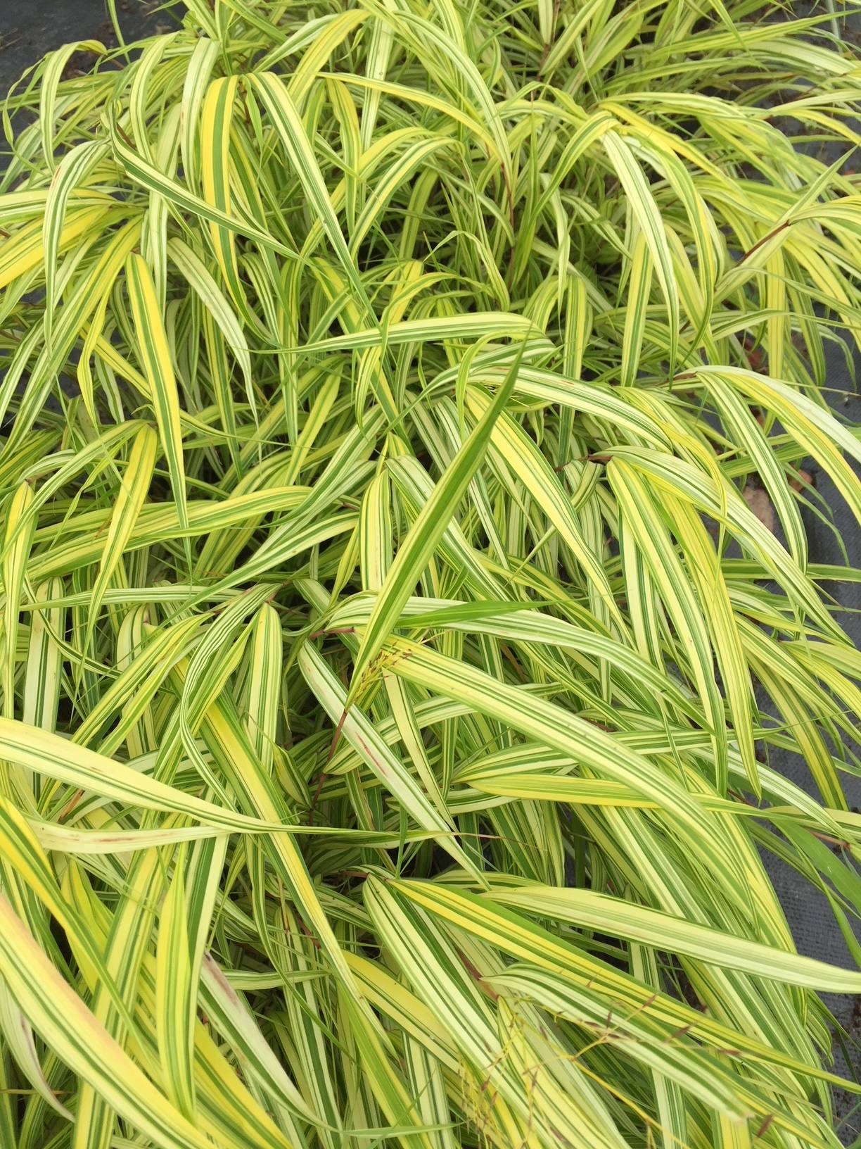 Penlan Perennials Nursery: Hakonechloa Macra 'Naomi'