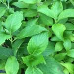 hydrangea-macrophylla-mariesii-perfecta-syn-blue-wave