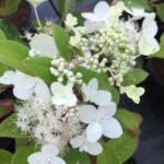 hydrangea-brussels-lace